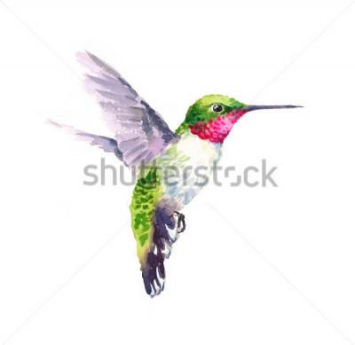 Quadro Colibrì dell'uccello dell'acquerello che vola l'illustrazione è una mano del giardino di estate isolata su fondo bianco