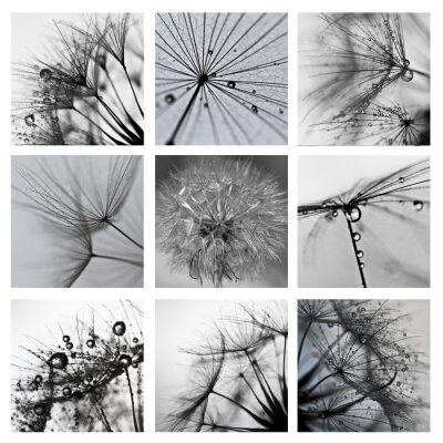 Quadro Collage ze zdjęć makro Wielkiego dmuchawca