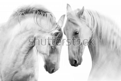 Quadro Coppie di cavalli bianchi isolati su fondo bianco. Alta immagine chiave