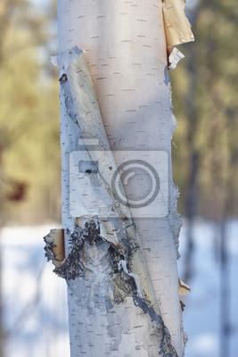 Quadro corteccia di betulla da vicino