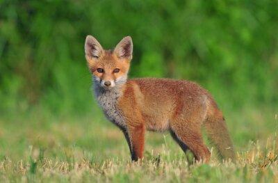 Quadro Cucciolo di volpe rossa