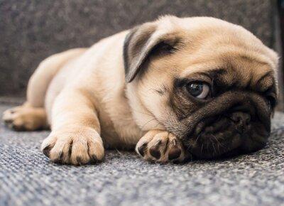 Quadro cucciolo pug