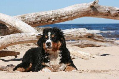 Quadro cucciolo Sennenhund