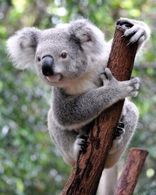 Quadro Curioso koala