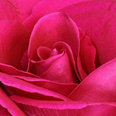 Quadro Détail d'une rose