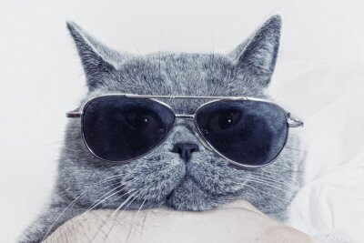 Quadro Divertente muso di gatto grigio in occhiali da sole