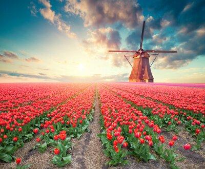 Quadro Drammatica scena di primavera nella fattoria dei tulipani. Tramonto colorato in Olanda, Europa.