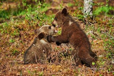 Quadro Due cuccioli di orso bruno