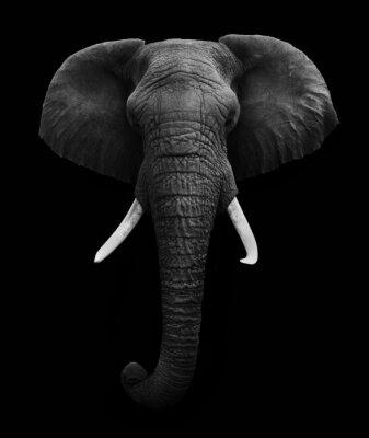 Quadro Elefante africano isolato