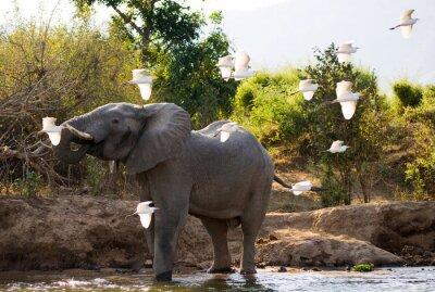 Quadro Elefante con aironi bianchi. Zambia. Abbassare Zambezi National Park. Zambezi River. Un ottimo esempio.