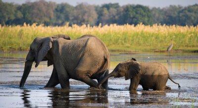 Quadro Elefante con il bambino che attraversa il fiume Zambezi.Zambia. Abbassare Zambezi National Park. Zambezi River. Un ottimo esempio.