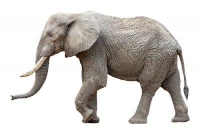 Quadro Elefante di fronte a uno sfondo bianco
