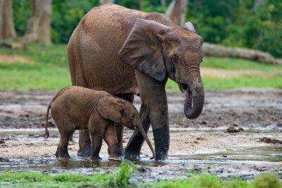 Quadro elefante femmina con un bambino. Repubblica Centrafricana. Repubblica del Congo. Special Reserve Dzanga-Sangha. Un ottimo esempio.