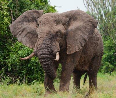Quadro Elefante nella savana. Riprese da mongolfiera. Africa. Kenya. Tanzania. Serengeti. Masai Mara. Un ottimo esempio.