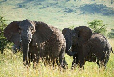 Quadro elefanti africani savana africana