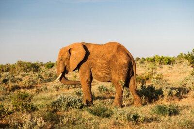 Quadro Elephant in Tsavo National Park East, Kenya