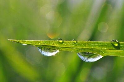Quadro Erba fresca verde con goccia di rugiada del primo piano. Nature Background