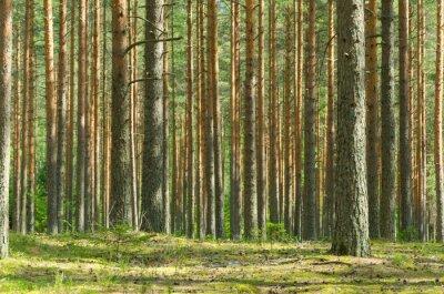 Quadro Estate Pine Forest