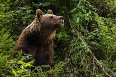 Quadro Eurasian orso bruno