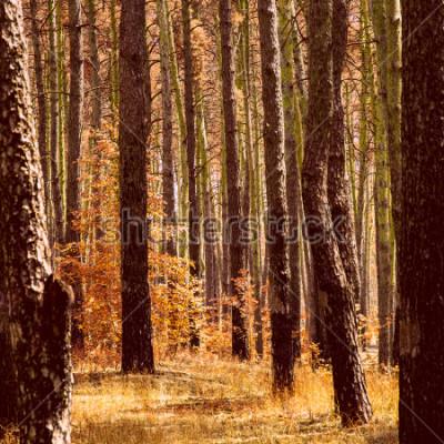 Quadro fantastico autunno dorato nella pineta arancio brillante piante tronchi di alberi alti puliti e nessuno intorno alla bellezza del nostro mondo