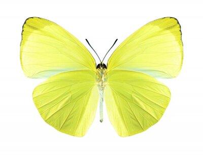 Quadro Farfalla Gandaca harina (maschile) (lato)