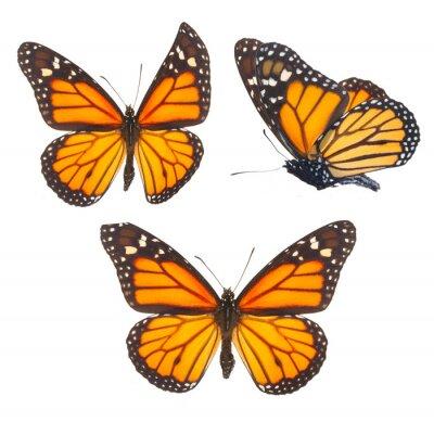 Quadro Farfalla monarca