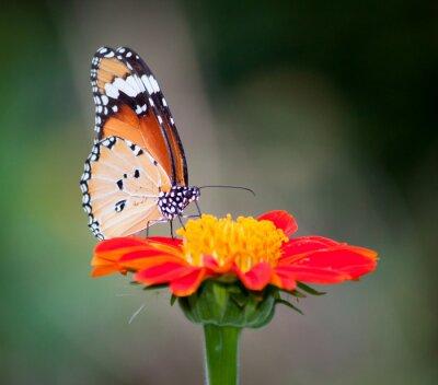 Quadro Farfalla su un fiore