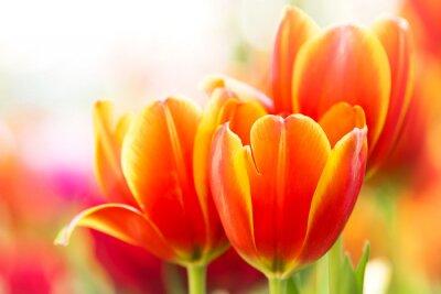 Quadro Fiore arancio del tulipano del primo piano in natura