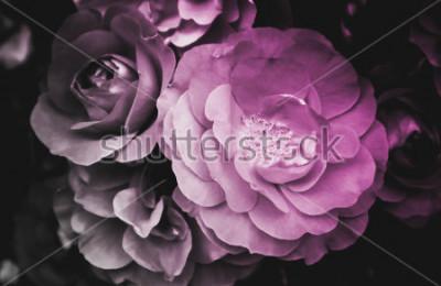 Quadro Fiore di fioritura del bello fiore di rosa. La foto raffigura un cespuglio di fiori di rosa selvatico delicato e brillante. Primo piano, vista macro. Bianco e nero