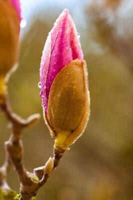 Quadro fiore di magnolia rosa gemma con gocce di pioggia. Vista da vicino con sfondo sfocato