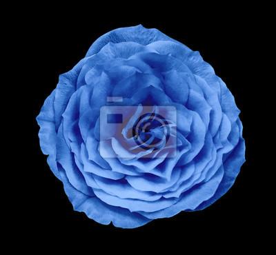 Fiore Rosa Blu Sfondo Nero Isolato Con Percorso Di Clipping