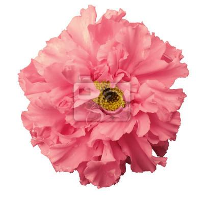 Fiore Rosa Con La Rugiada Isolato Sfondo Bianco Con Un Tracciato