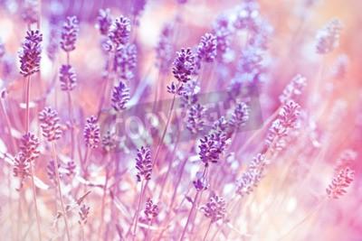 Quadro fiori di lavanda in giardino fiorito