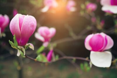 Quadro fiori di magnolia