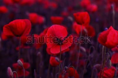 Quadro Fiori I papaveri rossi sbocciano sul campo selvaggio. Papaveri rossi del bello campo con il fuoco selettivo. Tonificante. Elaborazione creativa in chiave scura