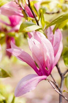 Quadro Fioritura di fiori di magnolia rosa in primavera