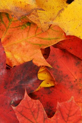 Quadro foglie di acero