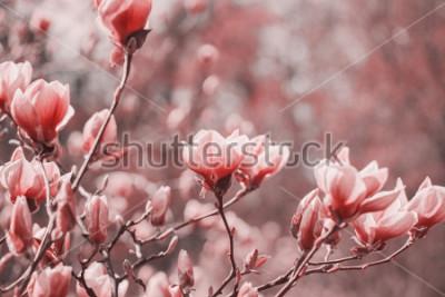 Quadro Fotografia di tendenza sul tema del nuovo colore dell'anno 2019 - Living Coral. Fiori di magnolia di primavera sullo sfondo naturale.