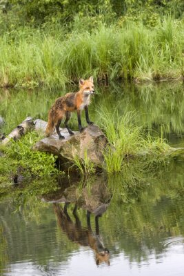 Quadro Fox con la riflessione in un lago tranquillo