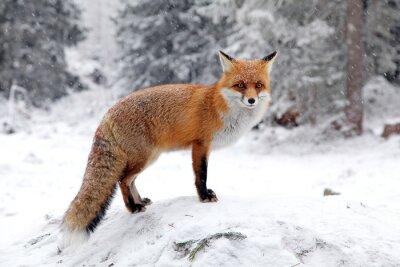 Quadro Fox in foresta a Alti Tatra, in Slovacchia