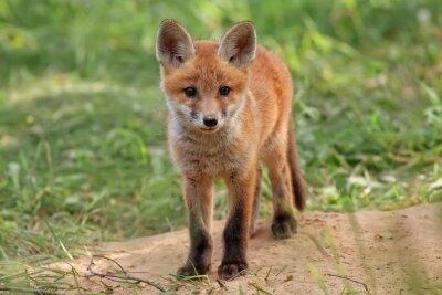 Quadro Fox in the wild