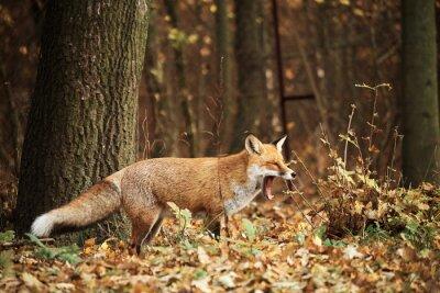 Quadro Fox nella foresta autunno