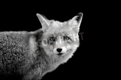Quadro Fox su sfondo scuro. Immagine in bianco e nero
