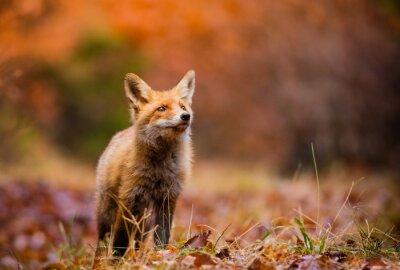 Quadro Fox (Vulpes vulpes) in europa foresta