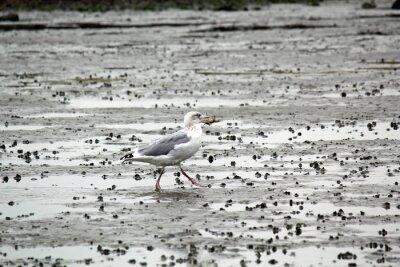 Quadro Gabbiano con granchio nel becco nel fango