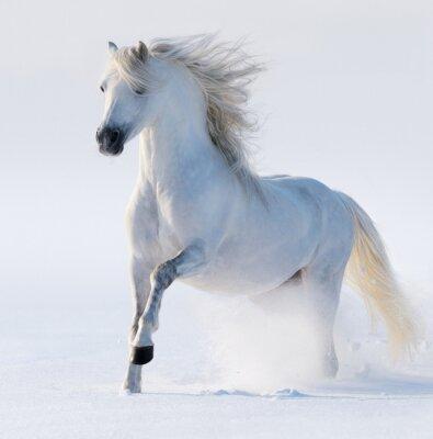 Quadro Galloping cavallo bianco come la neve