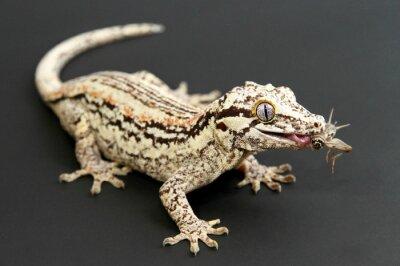 Quadro Gargoyle Gecko mangiare