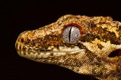 Quadro Gargoyle Gecko (Rhacodactylus auriculatus) nel profilo