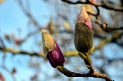 Quadro gemme magnolia