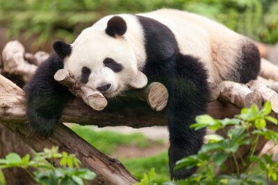 Quadro Giant Panda